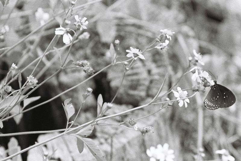 while waiting for my friend to arrive, I saw this butterfly and I remember this article says that its almost extinct, before im gonna forget the moment i just take the picture instead. EyeEmNewHere Flower Growth Plant Nature Outdoors Day Film Photography Malaysia Film Nature Tree B&w Shootfilmstaybroke Flowers Shootfilm Close-up Kodak T-max 400 Blackandwhite Animal Themes Art