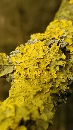 Lichens Flowers Lichen On A Tree Lichens Yellow The World Needs More Yellow Lichen Growth