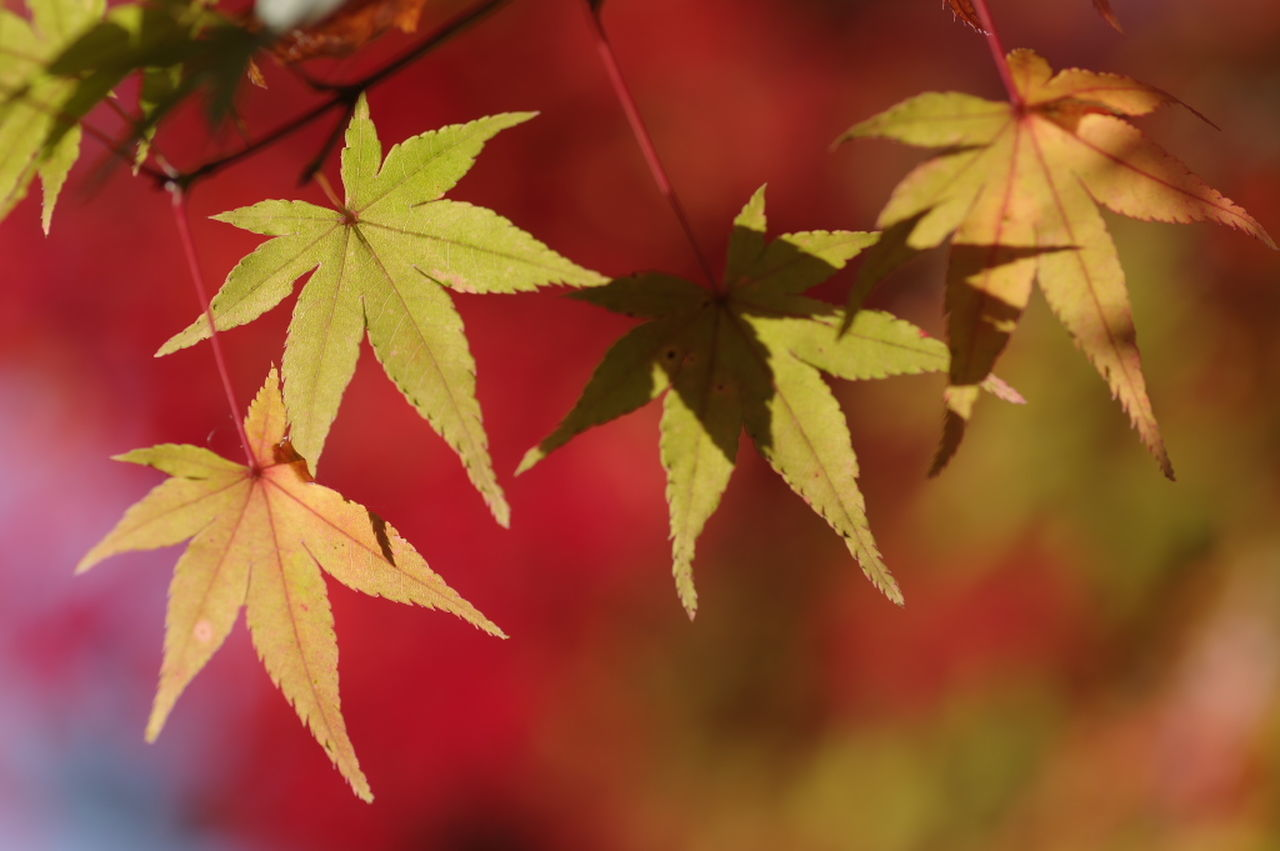 leaf, autumn, maple leaf, change, maple, nature, leaves, maple tree, close-up, beauty in nature, no people, growth, day, focus on foreground, outdoors, fragility