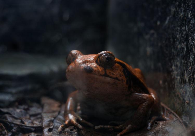 Close-up of a tropical Frog. Frog Amphibian Animal Animal Eye Animal Head  Animal Themes Animal Wildlife Brown Close-up Nature Perching Water カエル 両生類 水族館 蛙