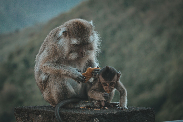 Two monkey sitting on wall