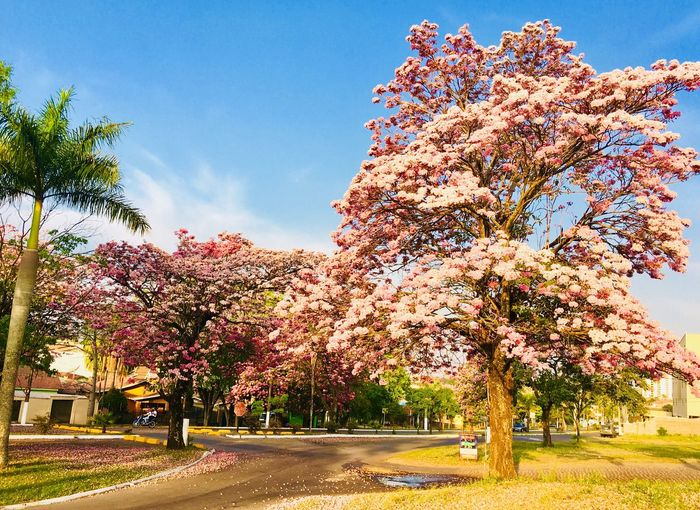 Sunlight Ipês Iperosa Ipê Tree From Brazil Plant Beauty In Nature Flower Sky Nature Plant Beauty In Nature Flower Sky Nature Springtime Pink Color Sunlight Blossom No People