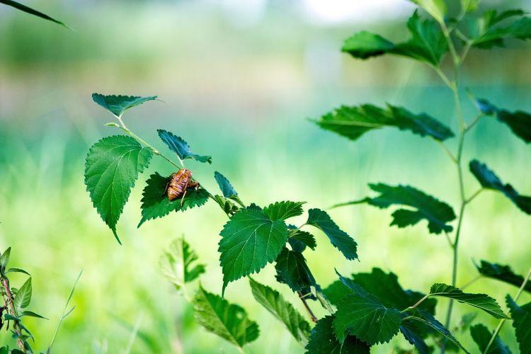 蝉の抜け殻 Grassy Outdoors Rural Scene Green Color Green Beauty In Nature Insect Leaf Selective Focus Day Fragility Tranquil Scene 蝉 Cicada Husk Of Cicada