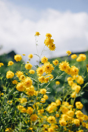 Agriculture Beauty In Nature Close-up Day Field Flower Flower Head Flowering Plant Fragility Freshness Growth Land Nature No People Outdoors Petal Plant Selective Focus Sky Springtime Vulnerability  Yellow