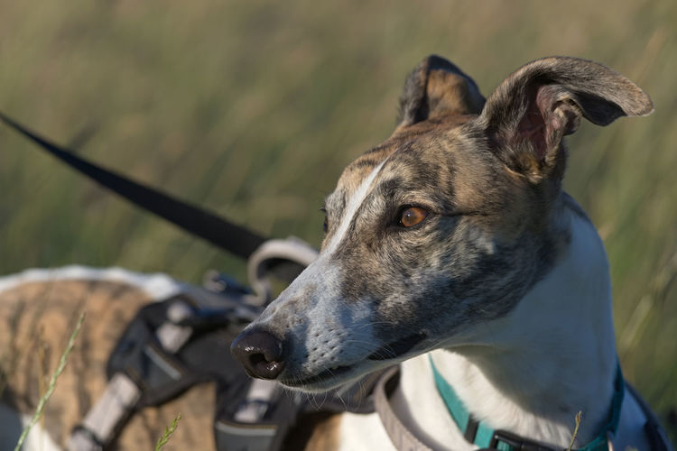 Gentle golden light hits the face of this brindle and white pet greyhound as she looks away