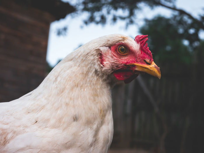 Animal Animal Body Part Animal Eye Animal Head  Animal Themes Beak Bird Chicken Chicken - Bird Chicken Head Close-up Day Domestic Domestic Animals Female Animal Focus On Foreground Hen Livestock Mammal No People One Animal Outdoors Pets Profile View Side View