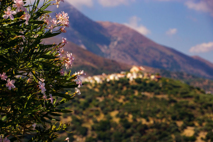 Beautiful Oleander at the slopes of Mount Ida, Crete Mountain Plant Beauty In Nature Nature Scenics - Nature Landscape Environment Day Tranquility Growth Sky No People Sunlight Mountain Range Tree Outdoors Focus On Foreground Flower Cloud - Sky Tranquil Scene EyeEm Best Shots EyeEm Nature Lover Sony A6000 Mount Ida Crete Greece Lassithi Plateau Oleander Oleander Flowers Oleander Blossom High Mountains High Planes