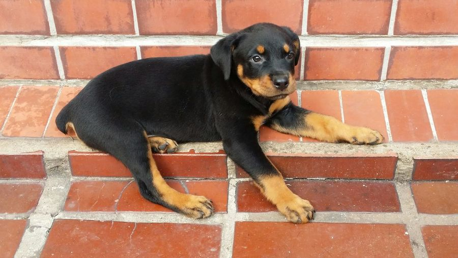 Baby Dog Dog Pet Cao Rottweiler Cachorro