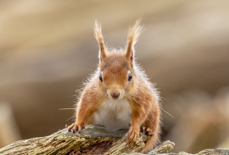 Red Squirrel in wild. Dorset Red Squirrel Squirrel Tree WoodLand Wooded Area Animal Eye Animals In The Wild Background Blurred Brownsea Island Close Up Focus On Subject Fur In Wild Long Ears Looking At Camera Mammal Outdoors Portrait Protected Red Fur Vertebrate Whisker Wildlife