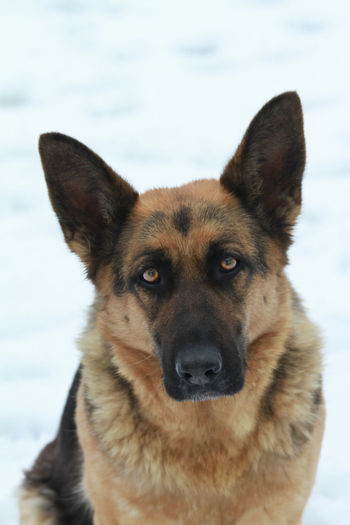 A dog is a man's best friend. Dogs Getty Images Sale Animal Themes Close-up Cold Temperature Day Dog Domestic Animals Focus On Foreground Forsale German Shepherd Looking At Camera Magazine Nature No People One Animal Outdoors Pets Photography Picoftheday Pictureoftheday Portrait Snow Winter