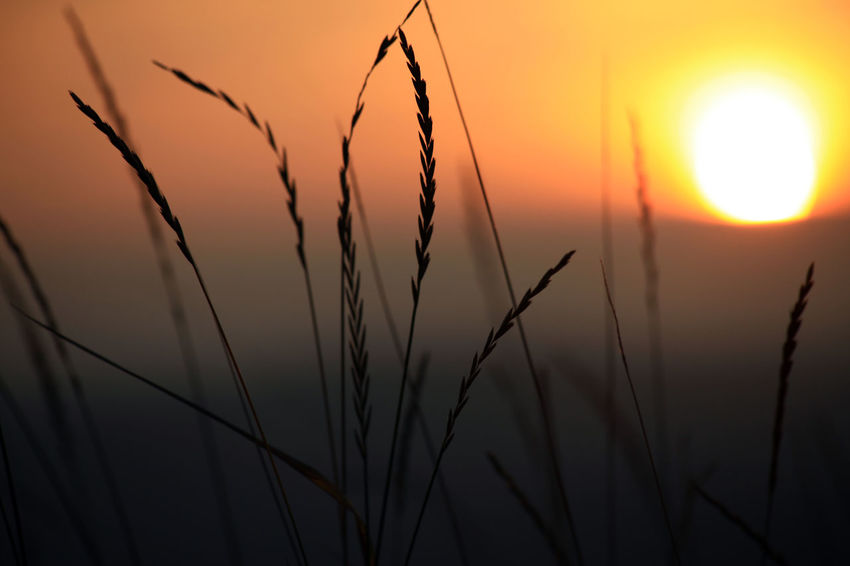 Sunset 1 Beauty In Nature Cereal Plant Field Focus On Foreground Grass Orange Color Scenics Silhouette Sky Sun Sunlight Sunset Tranquil Scene Nature EyeEmNewHere