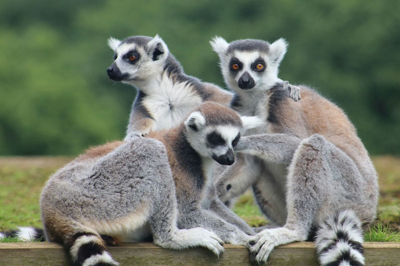 Portrait of lemurs sitting outdoors