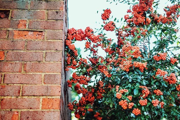 Berries Botany Brick Brick Wall Growing No People Red Springtime