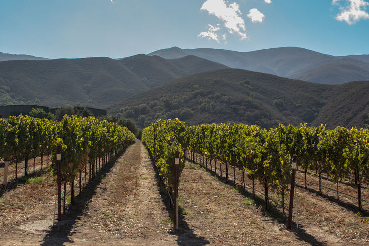 Landscape of Californian vineyard with mountains inbackground Agriculture Alcohol California Cellar Crop  Cultivated Farm Field Fruit Grape Growth Hill Landscape Nature No People Outdoors Rural Scene Scenics Sky Sunlight Vine - Plant Vineyard Wine Winemaking Winery