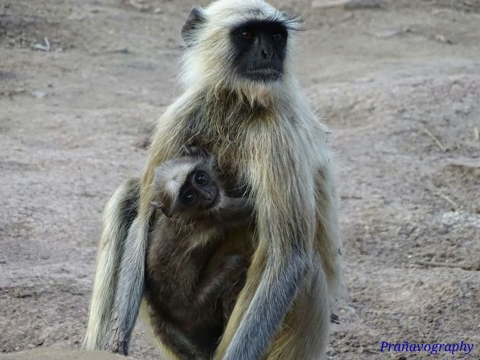 Animal Themes Animals In The Wild Animal Wildlife No People Mammal Nature Outdoors Day Close-up Baboon Primate Mother And Baby Bonding With Nature India Kanha National Park Prañavography Nature Photography Nature's Diversities EyeEm Best Shots - Nature EyeEmNewHere MPOTM - WeekendChallengeNo1 Malephotographerofthemonth The Street Photographer - 2017 EyeEm Awards The Great Outdoors - 2017 EyeEm Awards The Portraitist - 2017 EyeEm Awards