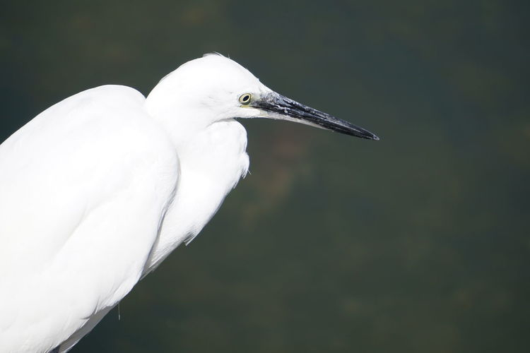 Animal Animal Head  Animal Neck Animal Themes Animal Wildlife Animals In The Wild Beak Bird Close-up Day Egret Focus On Foreground Great Egret Heron Nature No People One Animal Outdoors Profile View Side View Vertebrate Water Bird White Color