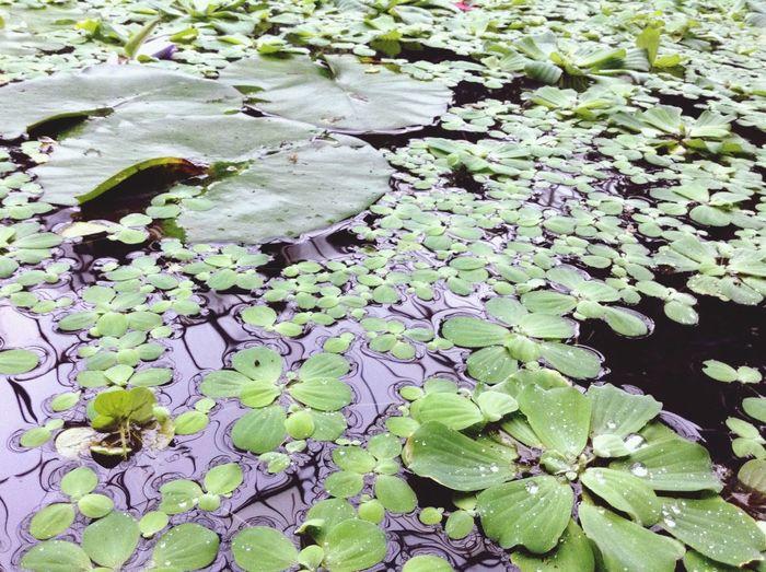 In the pond. Royal Botanic Gardens Botanical Gardens Garden Pond Green Water Exotic Walking Around