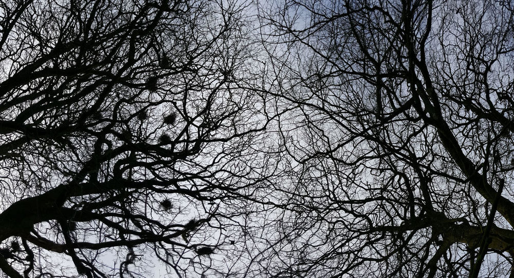 Bare Trees Bird Nests Branch Branches And Sky Low Angle View Rookery Sky Tree