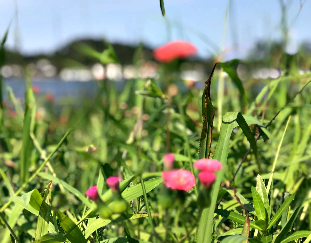 plant, growth, flower, flowering plant, beauty in nature, nature, green color, freshness, fragility, vulnerability, close-up, focus on foreground, selective focus, petal, pink color, field, day, no people, inflorescence, land, outdoors, flower head