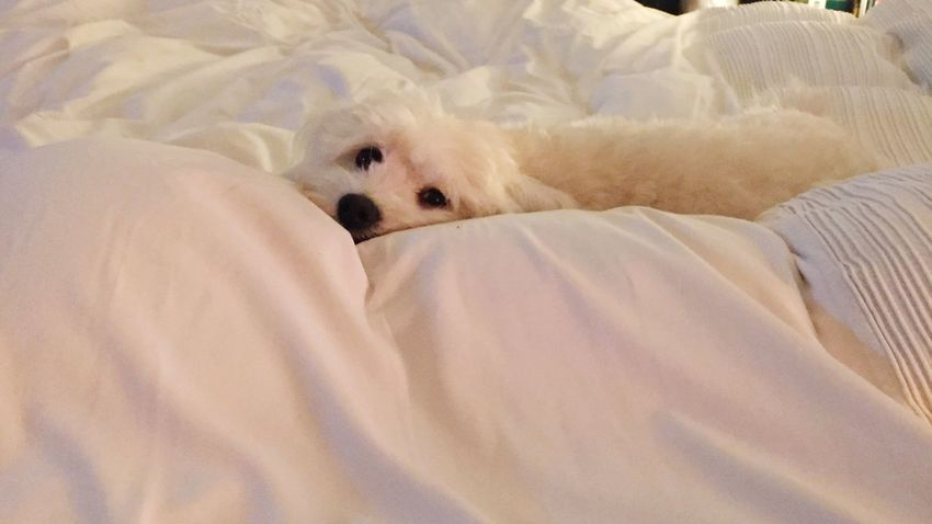 Dog Maltese Maltese Dog Maltese, Puppy,