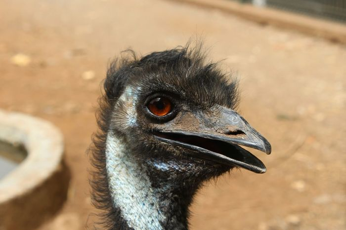 Portrait Red Eye Close-up One Animal Animal Wildlife Animal Themes Looking At Camera Ostrich Pet Portraits Park Animalpark Canon Canonphotography Canon1300d Tamron Tamron Lens Tamron70_300mm 70-300mm The Week On EyeEm The Portraitist - 2018 EyeEm Awards