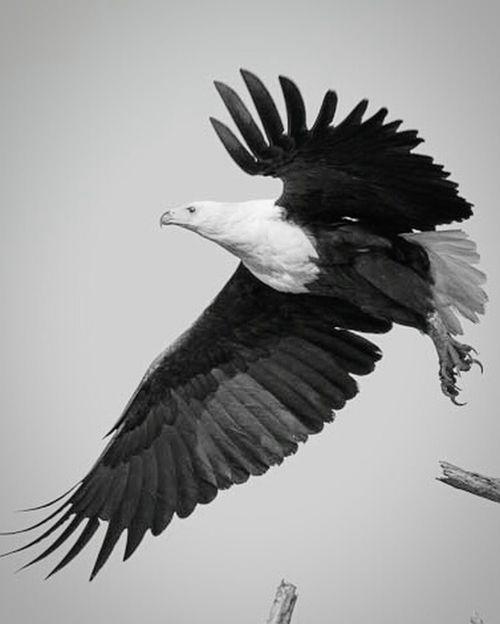 Bnw_friday_eyeemchallenge Haunted the African Fish Eagle. Wildlife Photography Bird Photography EyeEm Nature Lover African Fish Eagle
