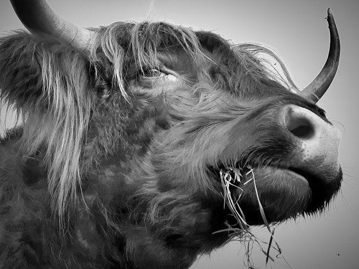 Schotse Hooglanders Schotse Hooglander Highlander Cow Highlandercow Animalportraits Bnw Bnwportraits Zwartwit Fotografie Dierenportret EyeEmNewHere