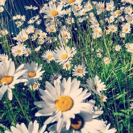 Summer Prestekrage Flower Blomster