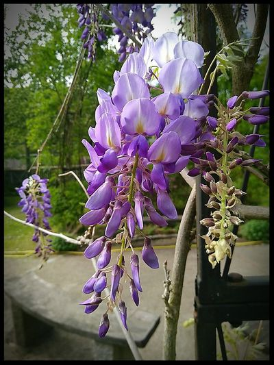 Blooming Blossom Poisonous Flowering Plant Plant Blooming Flower Flower Flower Head Scented Purple Blossom Close-up Wisteria In Bloom Blooming