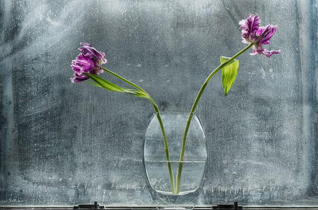Flower Glass Vases Green Parrot Tulips Purple Stems Tulip Water Window Windows