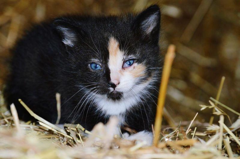 Pets Portrait Looking At Camera Domestic Cat Feline Black Color Close-up