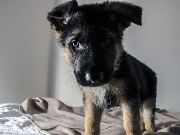 Brought this little guy back to live with me. His name is Bear. Animal Dog Domestic Animals German Shepherd Germanshepherd Indoors  Looking At Camera One Animal Pets Puppy Puppy Love
