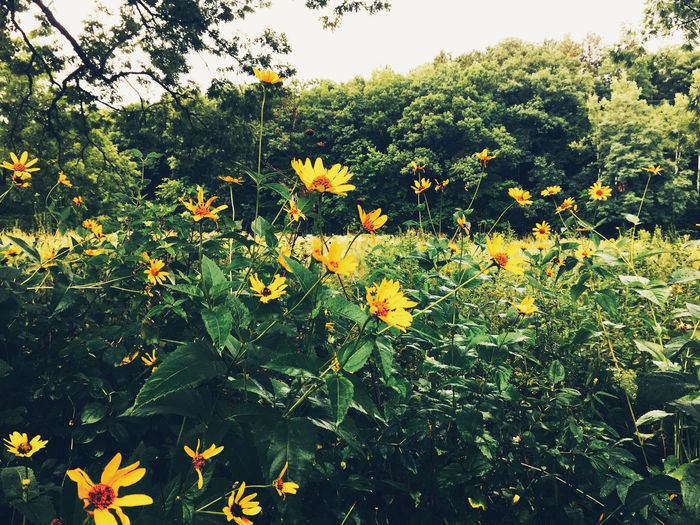 Yellow flowers blooming outdoors