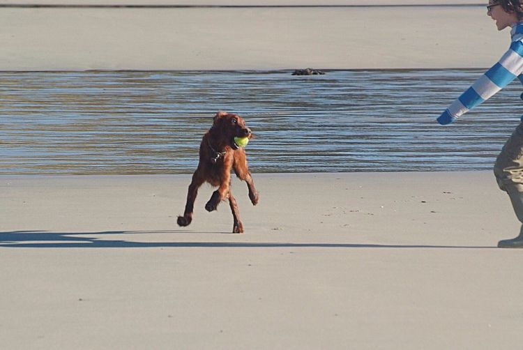 Catch me if you can! Beach Sea Sand Water Dog Shirtless Outdoors Day Fun Two People Nature Leisure Activity Roseland Peninsula Cornwall Uk Pets Real People Motion Men Summer Lifestyles Togetherness Irish Setter Happiness Playing Ball Catch Me If You Can