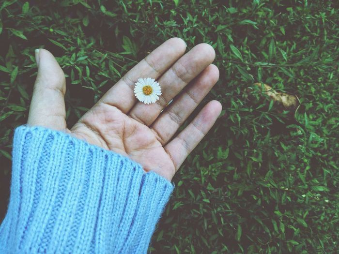 Cropped hand of woman holding white daisy on grassy land