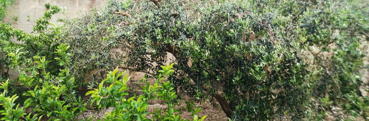 Garden Love Trees Olive Tree Nature Photography Green Green Green!  Love Nature❤ Life In Trees Beauty In Nature