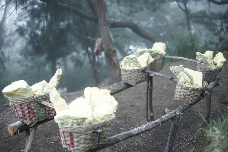Sulphur in a basket in Kawah Ijen, Surabaya Basket Close-up Day Flower Food Freshness Nature No People Outdoors Paper Plant Tree