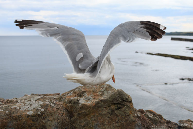 Seagull flying above sea