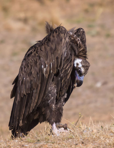 Close-Up Of Vulture On Field