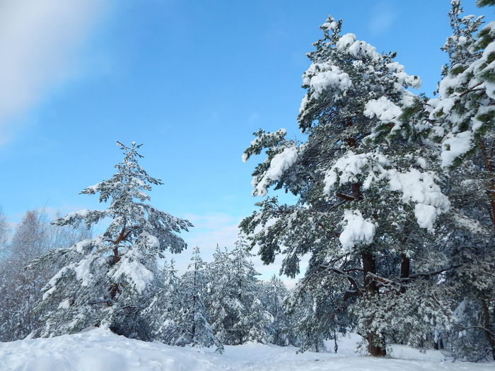 Snow Winter Tree Pinaceae Cold Temperature Pine Tree Nature Beauty In Nature No People Outdoors DayLatvija Sky Close-up Riga Latvia Forest Landscape