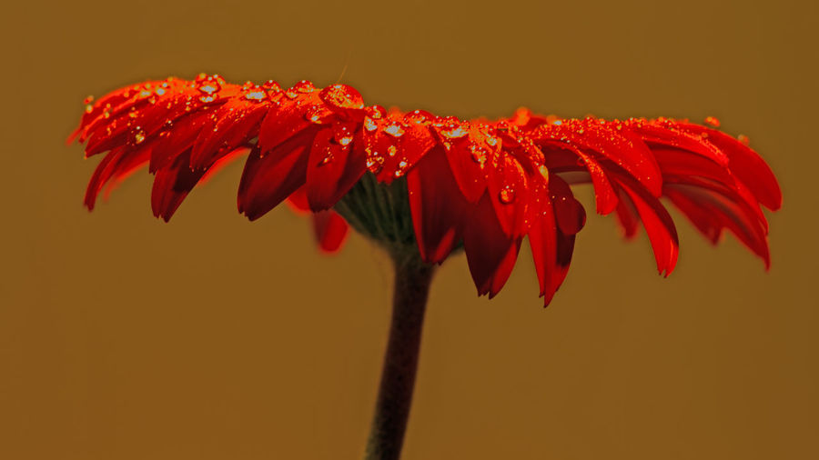 Close-Up Of Wet Gerbera Daisy Against Golden Background