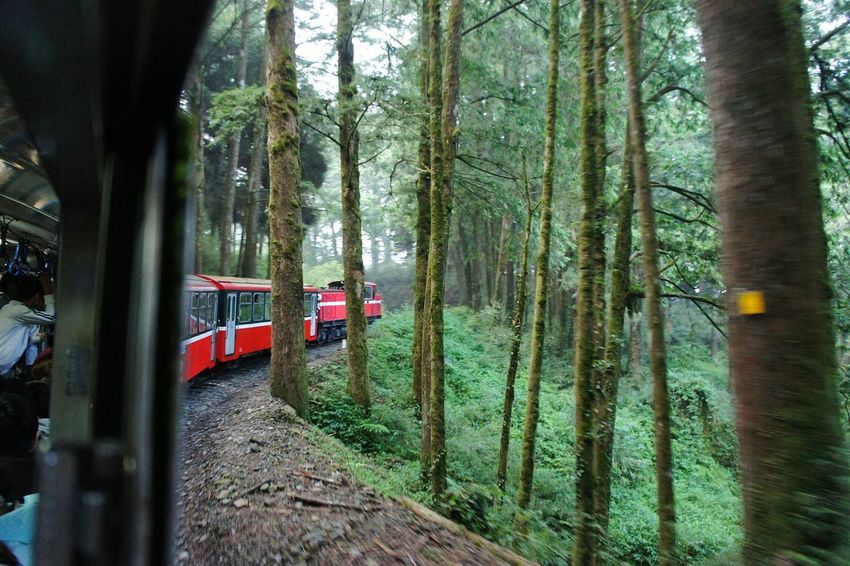 Train travelling through the forest in Alishan, Taiwan. Trainphotography Train EyeEm Traintracks Transportation Alishan,Taiwan Taiwan Alishan Locomotive Trains Travel Photography Newstrekker Gettylicious Stockphoto EyeEm Taiwan Travel Destinations Travel Mountain Nature Taiwanese Frommywindow From My Point Of View Train Travel Forest Train Tracks Trains_worldwide