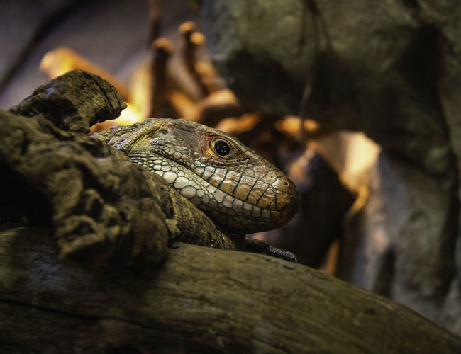 Reptile Animal One Animal Close-up Lizard Selective Focus Animal Head  Nature Orange Color