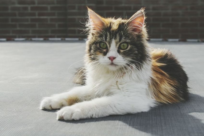 Beauty In Nature Cats Cats Of EyeEm Photography Portrait Cat Photography Ragdoll Ragdoll Cat Cute Meow Beautiful EyeEm Selects Pets Portrait Feline Domestic Cat Sitting Kitten Looking At Camera Whisker Lying Down Animal Themes Tabby Cat Cat Tortoiseshell Cat