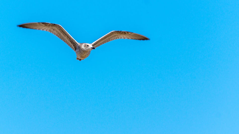 Animal Themes Animal Wing Animals In The Wild Beauty In Nature Bird Blue Clear Sky Copy Space Day Flying Full Length Low Angle View Mid-air Nature One Animal Seagull Spread Wings Two Animals Wildlife Zoology