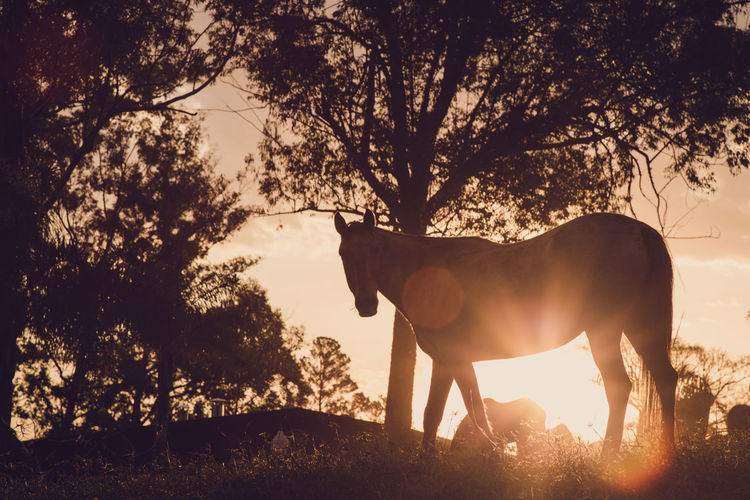 Horse silhouette under sunset Equestrianism Equines Haras Horse Horses Mammal Mares Nature Silhouette Sunset Warm Colors