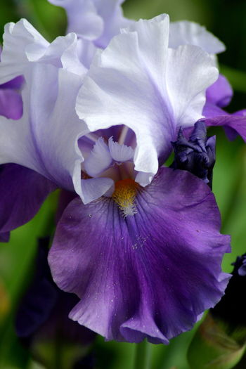 Beauty In Nature Close-up Day Flower Flower Head Fragility Freshness Growth Iris - Plant Nature No People Outdoors Petal Plant Purple Purple Color Purple Flower