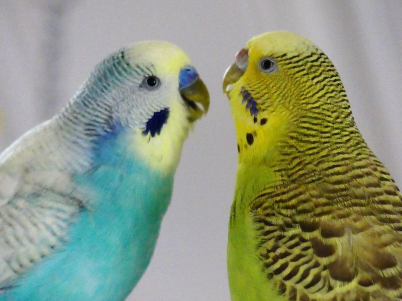 Happy Anímals Life In Motion Life In Colors Loughing Parrot Bird Budgerigar Two Animals Animal Wildlife Affectionate Togetherness Animal Themes Pets Close-up Lovers Birds_collection Animal_collection Posing For The Camera Rainbow Colors Colors Pet Portraits