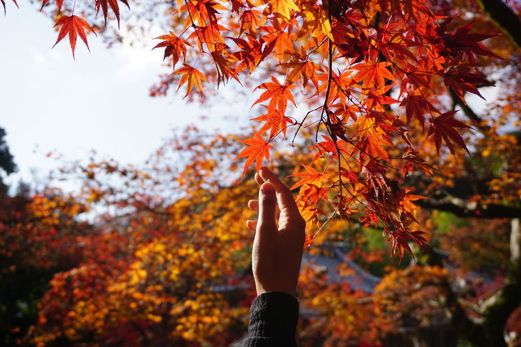 Cropped Hand Of Person Touching Maple Leaf During Autumn