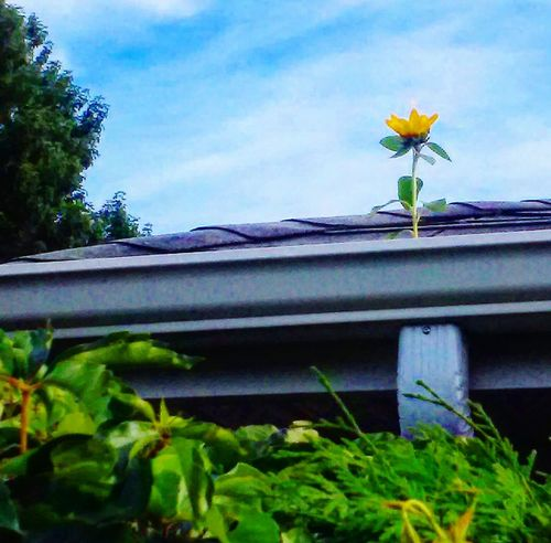 Sunflower Tournesol Force Of Nature Forceofnature Flower Fleur Nature Nature Photography Nature's Diversities Weird Toit Roof Granby Enjoy The New Normal Adapted To The City
